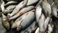 Kıyıya vuran balık sürüsü sayesinde mucize gerçekleşti
