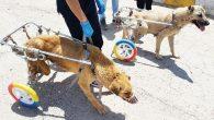 Engelli Hayvanlara Kendi İmkanlarıyla Protez ve Yürüteç Yapıyor