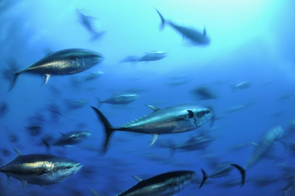 atlantic_bluefin_tuna-mr_tse41ri