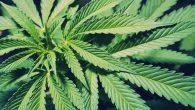 Kanada'da Marihuana Kullanımına Destek Artıyor