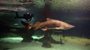 Teksas'taki Okyanus Akvaryumundan Çalınan Köpekbalığı Bulundu