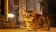 Ayasofya'nın Kedisi Gli Öldü